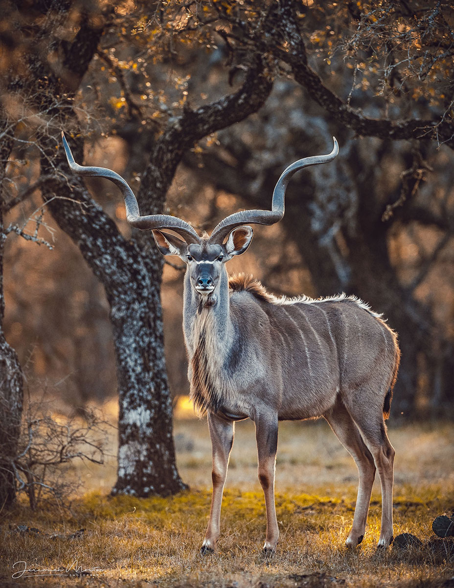 Wildlife Partners kudu
