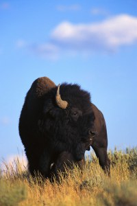 wy bison
